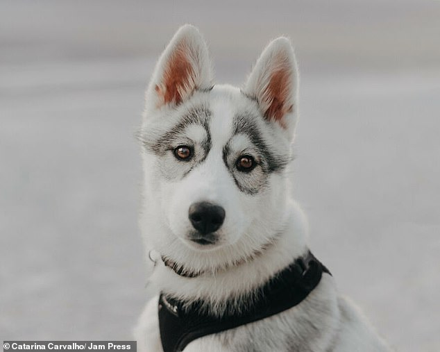 Eight-month-old Siberian Husky and owner Catalina Carvalho, 24, who live in Leiria, Portugal, appear to be wearing glasses on their faces thanks to their unique facial markings.
