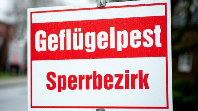Around 16,000 dead animals: mass slaughter after avian influenza outbreak in Brandenburg turkey fattening - Berlin