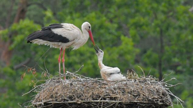 Sometimes five rubber bands at a time: plastic found in one in three stork vaults - society