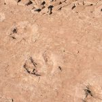 12 dinosaur footprints appeared in Chocón Medio
