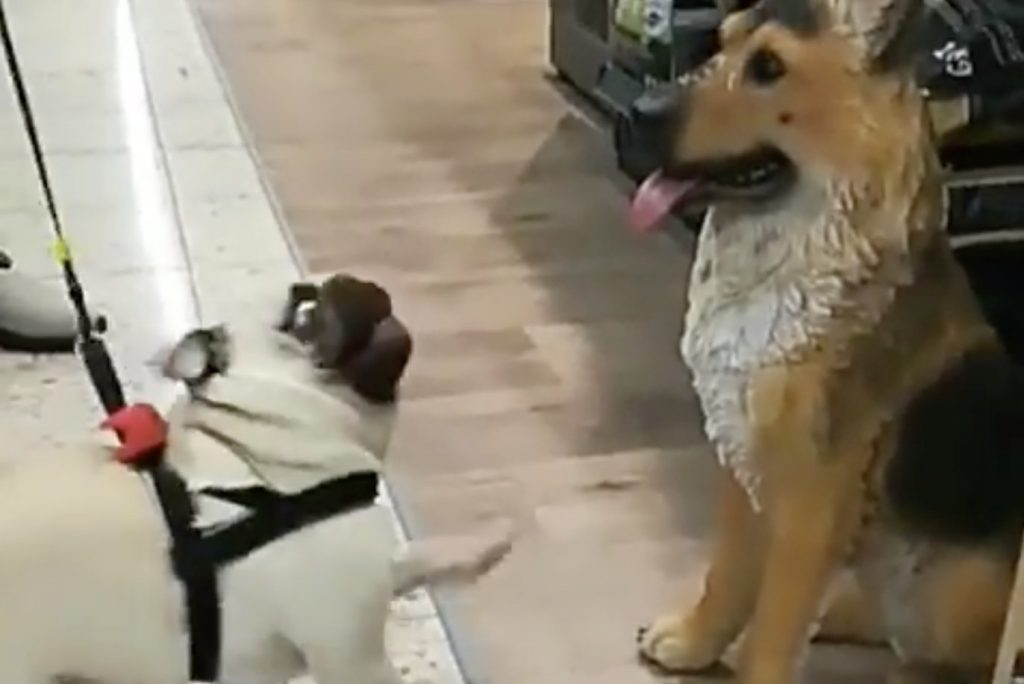 Filmed a comical pug trying to make friends - by no means did he realize the dog was fake