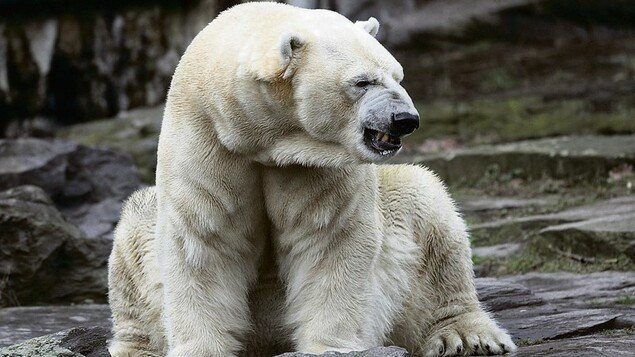 Vertebrate feelings: in the UK, polar bears are allowed to cry - knowledge