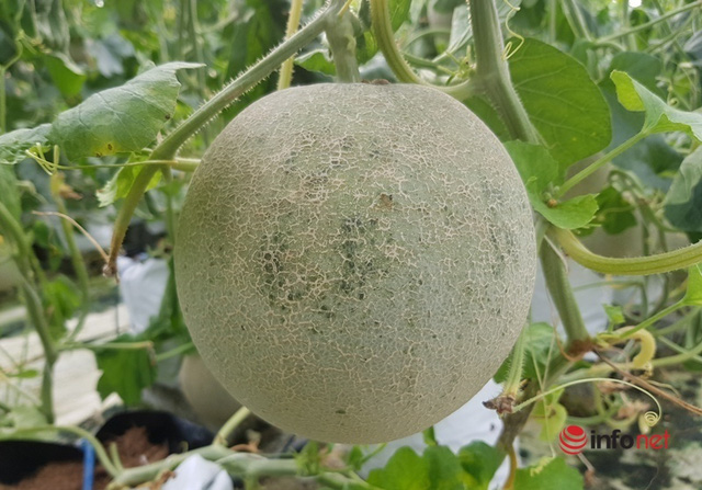 The teacher started a melon growing business, earning more than one hundred million dong / year - Photo 4.
