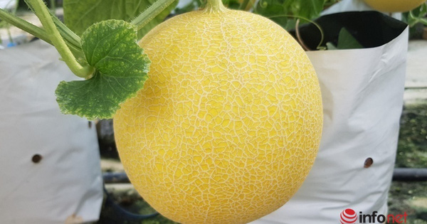 The master started a melon growing business, making a profit of more than one hundred million dong / year.