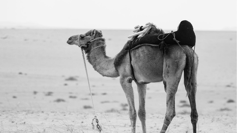 An important discovery about life-size camel carvings in Saudi Arabia!